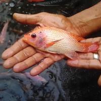 bibit ikan nila larasati ukuran 3 jari