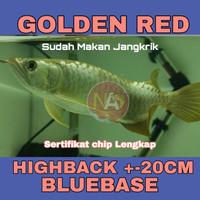 Arwana / Arowana Golden Red Highback /bakat BLUEBASE +-20 Cm