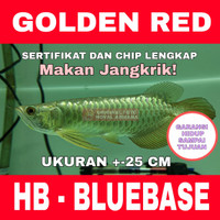 Arwana / Arowana Golden Red Highback HB - BLUEBASE ukuran +-25 Cm