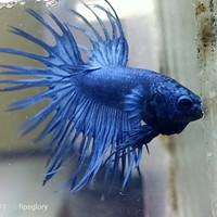 jual cupang crowntail royal blue