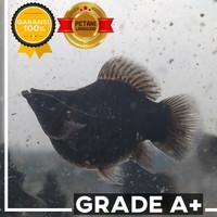 Grade A+ Ikan Black Molly Balon Ekor Bundar Size L (4 - 5 cm). Langka!