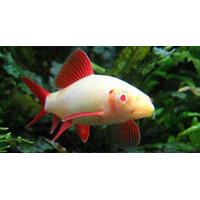 Ikan Hias Albino Rainbow Bala Shark