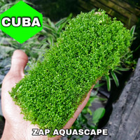 tanaman carpet cuba aquascape / mika medium
