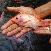 paket bibit ikan nila larasati isi 20 ekor ukuran 3-4 jari