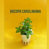 Bacopa CAROLINIANA Tanaman Aquascape ( Di jual per pot )