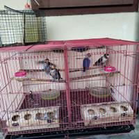 Baby Lovebird Ternakan Sendiri usia +/-2bln