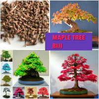 Benih Bibit Biji Pohon Japanese Maple Plant Bonsai Mini Garden