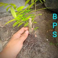Bibit anting putri / Bahan bonsai mame anting putri / tanaman anput