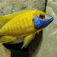 ikan cichlid aulonocara baenschi benga peacock