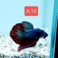 Ikan Cupang Avatar Gold Male Size L++ Usia 6bln Up