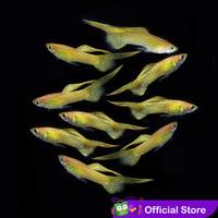 Guppy Blonde Yellow Lace Top Sword / Ikan Hias Air Tawar - Jantan