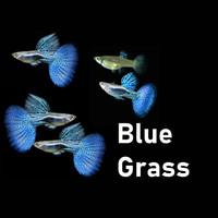 ikan guppy gupy Blue grass biru dorsal jantan betina aquascape grade