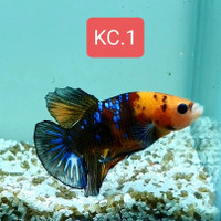Real Pict. Cupang Koi Cooper - Male Size L+ 6bln Up