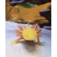 axolotl golden
