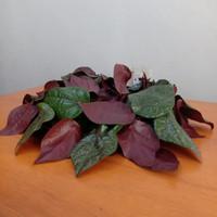 Sirih merah segar - daun muda