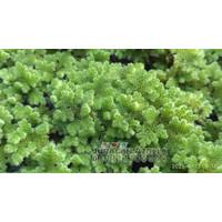 Bibit Azolla Microphylla Bibit Azolla tanaman paku air pakan ikan