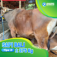 Amazing Qurban Sapi Bali Premium Besar Bobot 375kg Daging Super