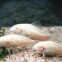 ikan hias corydoras albino aquscape