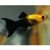 molly black golden hias