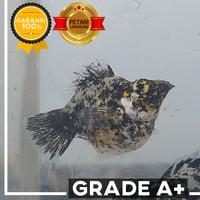 Grade A+ Ikan Molly Marble / Marbel / Dalmatian Balon Size L (4 - 5cm)