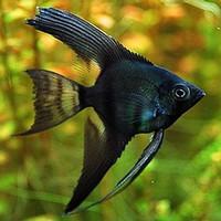 Ikan Manfish Black / Manfish Hitam