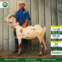 Hewan Qurban domba/kambing murah