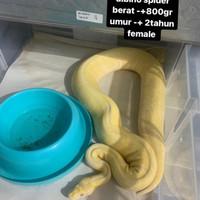 ball python albino spider + ballpython albino spider female