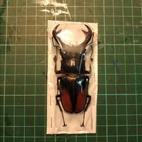 Keringan / Awetan Kumbang Rusa / Kumbang Capit Hexarthrius Parryi