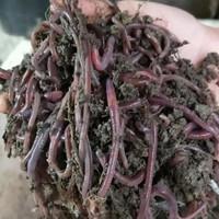 Cacing tanah hidup 30 ekor