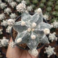 Astrophytum Myriostigma Grafying D 10cm   Kaktus/Sukulen