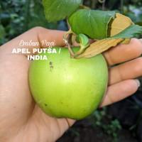 Terlaris dan Manis Bibit buah Putsa/ Apel India