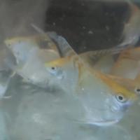 ikan manfish red head angel (taiwan)