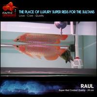 Ikan Arowana Super Red Bluebase KAPUAS HULU spek Kontes