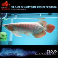 Ikan Arowana Super Red Greenbase KAPUAS HULU spek kontes
