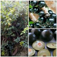 Bibit Tanaman Buah Anggur preco /anggur Brazil /anggur Pohon Unggul