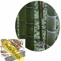 Benih Biji Pohon Bambu Phyllostchys China F1 Import / Biji Bambu Unik