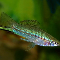 Ikan hias ekor pedang (Sword tail) ikan hiasan Aquarium/Aquascape