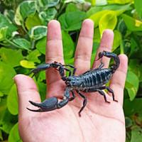 Kalajengking Asian Forest Scorpion