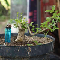 bahan bonsai anting putri