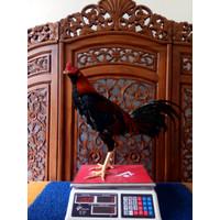 Ayam Aduan Jogjakarta Kandang Jamkid Jago Farm 085325705450 JJF021