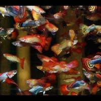 ikan guppy gupy cendol warna warni aquscape jantan betina berkualitas