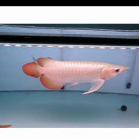 ikan hias arwana golden red arowana