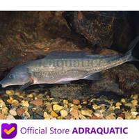 New Produk Ikan Hias Baby Dolphin Lumba-Lumba Mormyrid Mormyrus Air