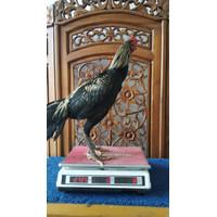 Ayam Aduan Jogjakarta Kandang Jamkid Jago Farm 085325705450 JJF023