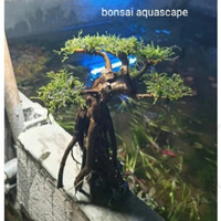 bonsai air mini untuk aquarium aquascap