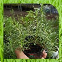Bibit Tanaman Herbal Rosemary Rosmarinus Officinalis