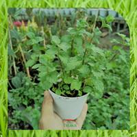 Bibit Tanaman Herbal Daun Mint