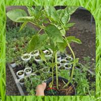 Bibit Tanaman Herbal Basil
