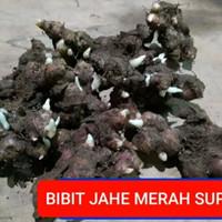 BIBIT JAHE MERAH SUPER KUALITAS INDUSTRI