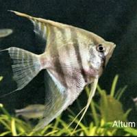 Ikan Hias Aquascape Manfish Antum Size L